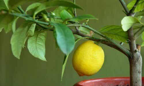 4 árvores frutíferas para cultivar em casa