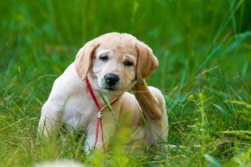 Cão com pulgas se coçando