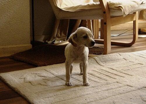Cão sem pulgas dentro de casa