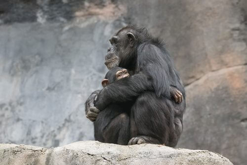 abraço-macacos