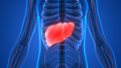 Fígado no corpo
