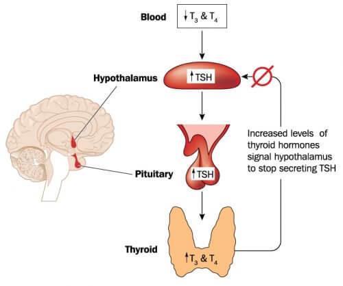 Mecanismo de ação do hipotireoidismo