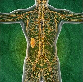 Sistema linfático: 4 dados