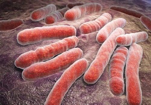 Bactèrias da erisipela
