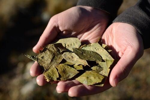 Folha de coca para preparar chá