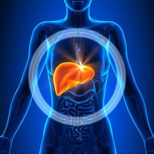 O fígado é o órgão responsável por cumprir as funções de depuração do organismo