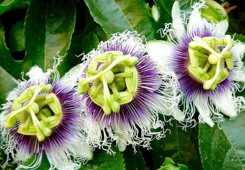 Flor-da-paixão