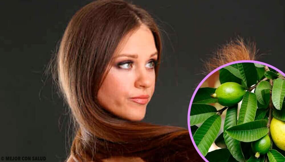 Folhas de goiaba para os cabelos mal tratados