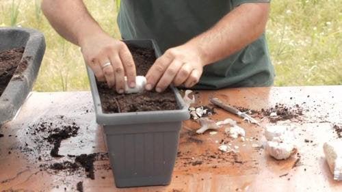 Como cultivar alho em casa