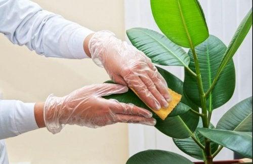 Como limpar as folhas das plantas em casa?