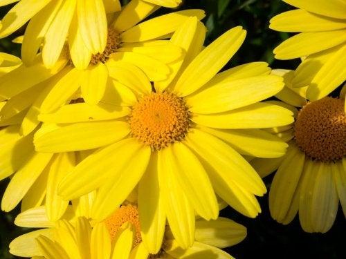 Flor da arnica