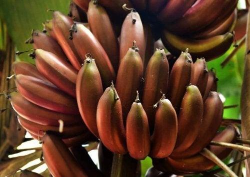 Banana vermelha: 3 receitas deliciosas com esse ingrediente