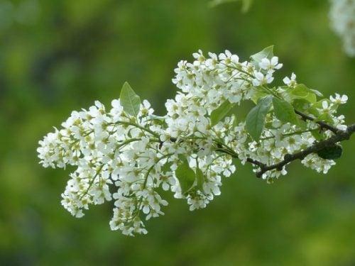 A planta de Angélica ajuda a tratar a dismenorreia