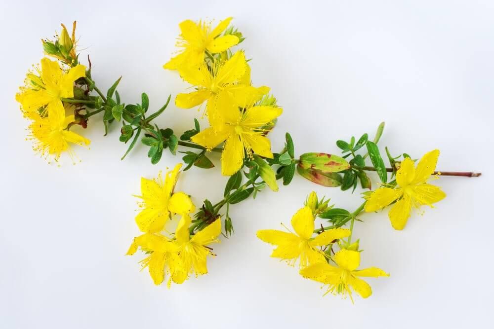 6 benefícios da erva de São João