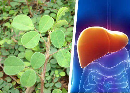 Conheça a planta que ajuda o fígado a se regenerar