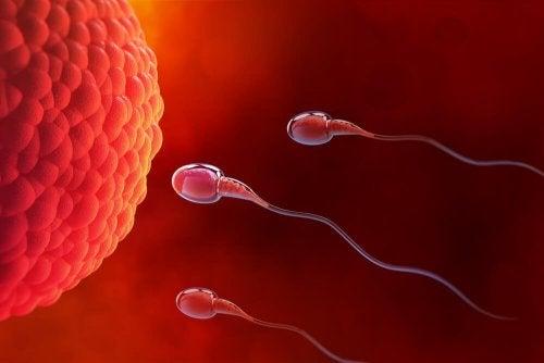 Espermatozóides indo fecundar o óvulo