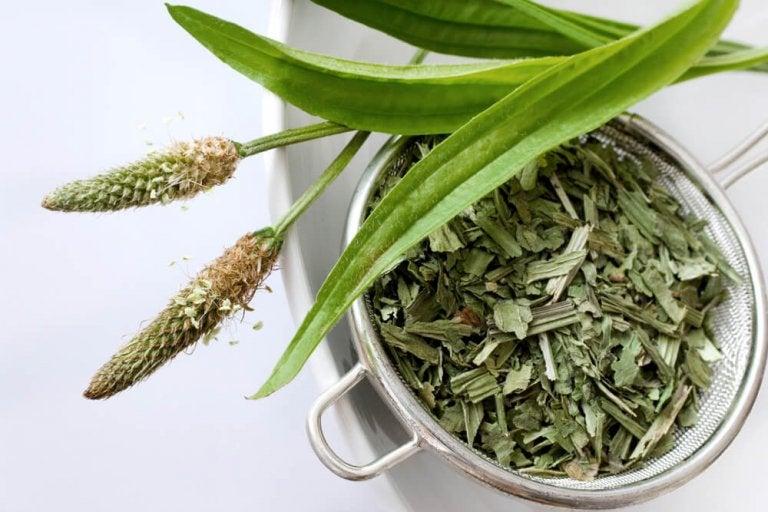 Infusão de semente de tanchagem: remédio eficaz para a constipação