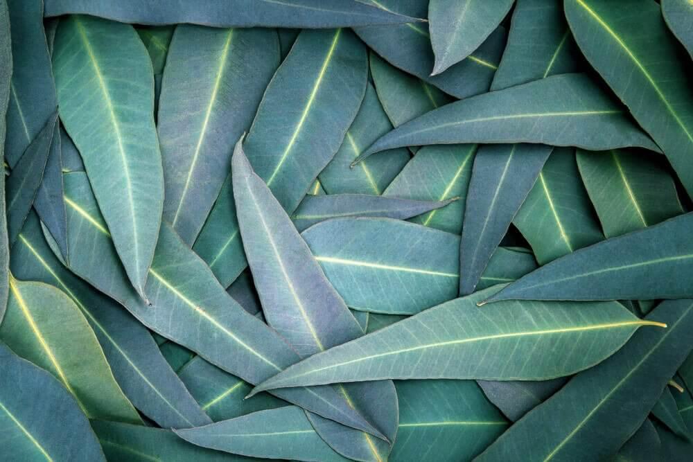 5 soluções com eucalipto para aliviar problemas respiratórios