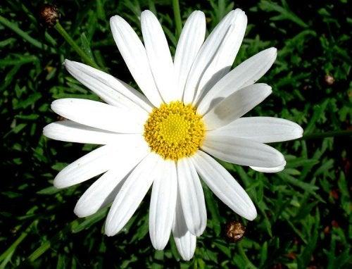 Margaridas são plantas para repelir pulgas e carrapatos