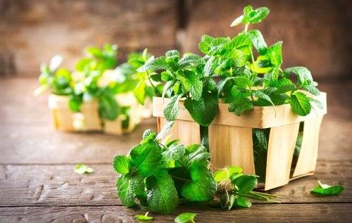 Menta para combater a halitose