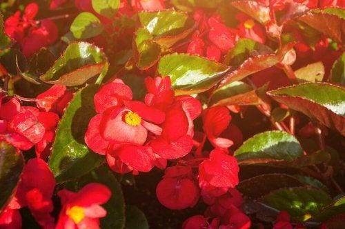 Flores vermelhas para jardim na varanda