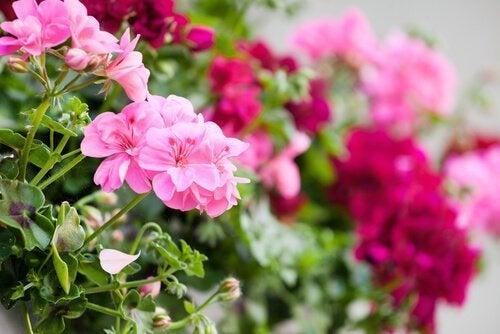 Flores rosas para jardim na varanda