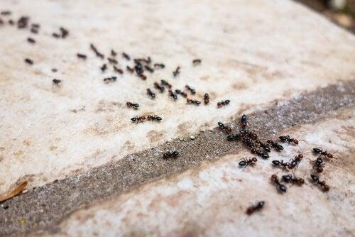 Use pó de talco para afastar formigas