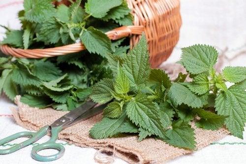 Folhas de urtiga para prevenir pedras nos rins