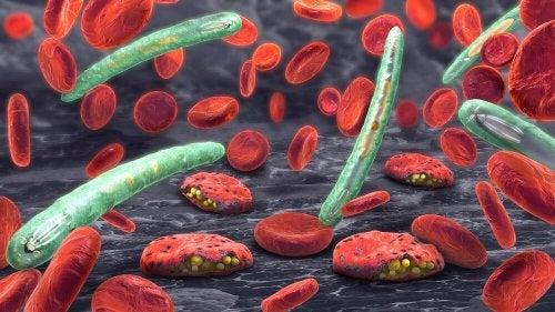 Microrganismos da malária no sangue