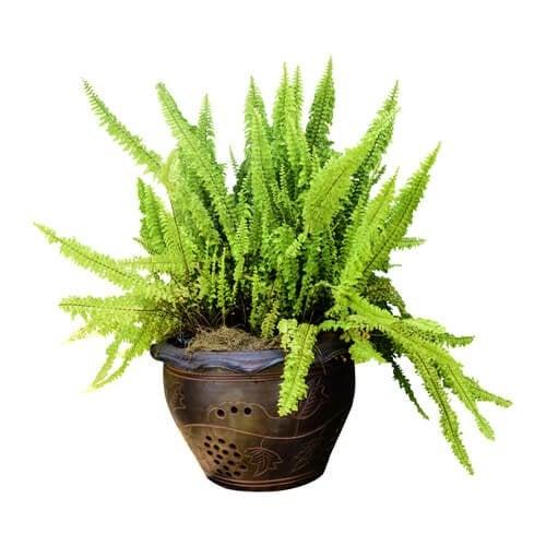 Samambaia é uma das plantas para o banheiro