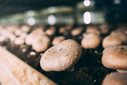 Aprenda a cultivar cogumelos champignon em casa