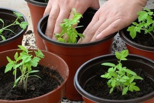 Pessoa cultivando tomates