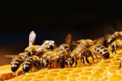Geleia real das abelhas