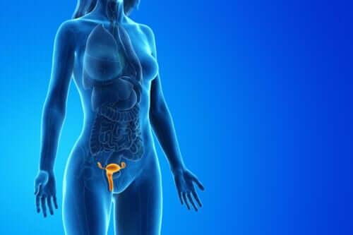 Sistema reprodutor feminino: Como é formado? Como funciona?