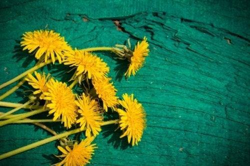 Dente de leão é uma das ervas medicinais para a dor de estômago