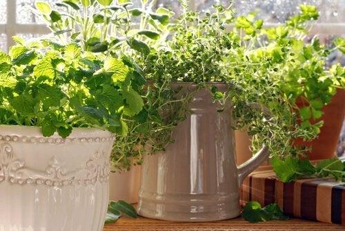 Planta de tomilho
