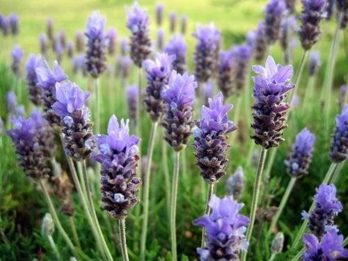 Plantas aromáticas para um jardim pequeno: lavanda