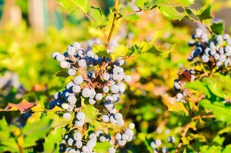 Tratamentos herbais tópicos para a psoríase: uva