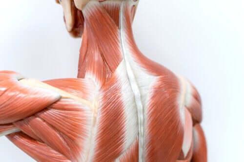 Anatomia dos músculos das costas