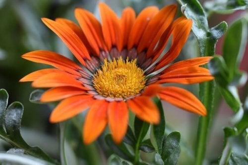 As flores da gazânia