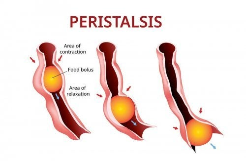 O peristaltismo permite que o bolo alimentar se mova ao longo do sistema digestivo.