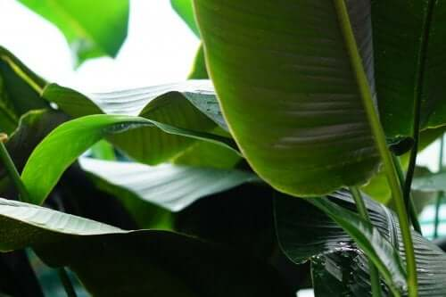 Os incríveis benefícios das folhas de bananeira