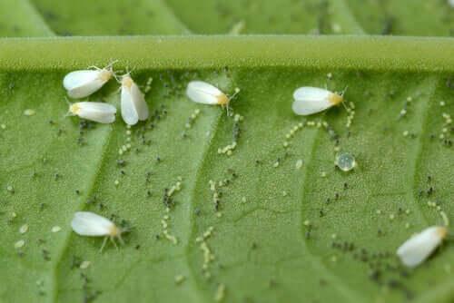 Mosca-branca entre as pragas e doenças de plantas