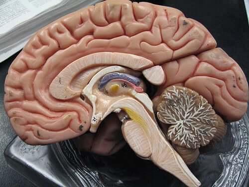 Cérebro cortado pela metade