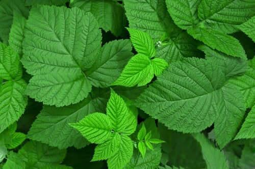 Folhas de framboesa para problemas digestivos