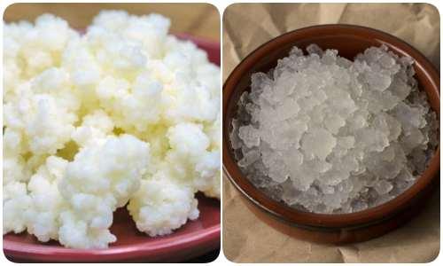 Os grânulos de kefir contêm bactérias lácticas para a fermentação