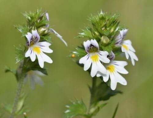 Flores de eufrásia