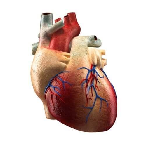 As partes do coração e suas funções
