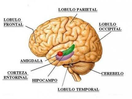 Quais são as funções dos lobos cerebrais?