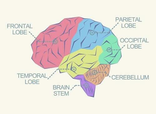O que são os lobos cerebrais?